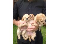 Puppies.poodle puppies.