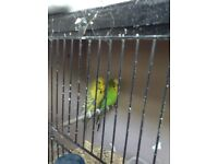 2 lovely green budgies pair with cage