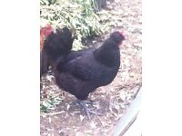 A single docile Mrs Pepperpot Chicken who lays an egg a day needs a new home.