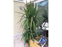 Yucca houseplant