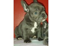 French Bulldog female puppy KC Solid Blue 9 weeks old