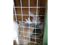 Baby Palamino rabbits