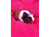 Baby male guinea pig ready now