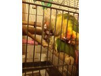 2conure parrots need rehoming £100