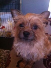 Chorkie dog for sale