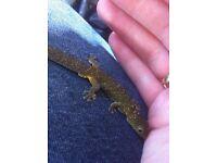 Eurydactylodes agricolae gecko male