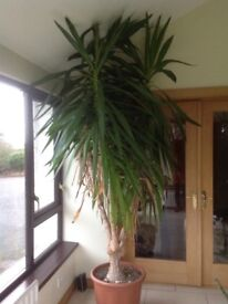 Houseplant-approximately 3 metres tall, tolerates cool temperatures indoors