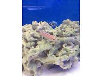 Long nose hawk fish - marine fish tank aquarium