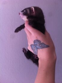 Adorable baby ferrets for sale