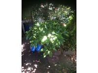 Aucuba spotted Laurel Plant