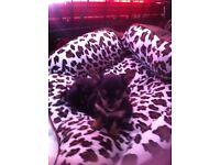 Chorkie Pups (Yorkshire terrier x chihauhua)