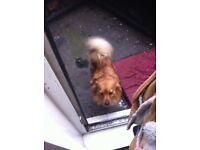2 year girl Pomeranian full pedigree