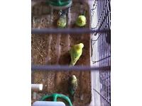 Beautiful and healthy budgies