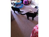 2 black male cats for rehoming
