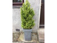 Planter with conifer tree