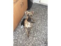 10 month old Saluki X Whippet for sale