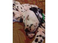 Male Dalmatian Puppy ready now