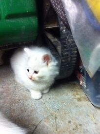 EXTRA LONG FLUFFY FUR WHITE KITTENS MALE AND FEMALE