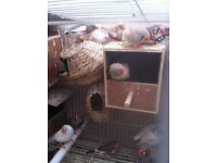 Beautiful zebra finches and Bengaleese