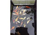 """3 - 4"""" Japanese Koi (pond fish)"""