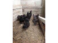 Black Silkies for sale