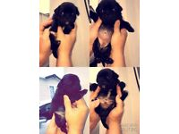 Beutifull pug puppies