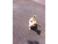 Jack Russell x Pomeranian puppies