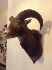 Taxidermy large ram head