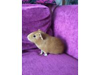 Beautiful Golden brown guinea pig for sale