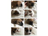 Jack Russell/Jug Puppies for sale