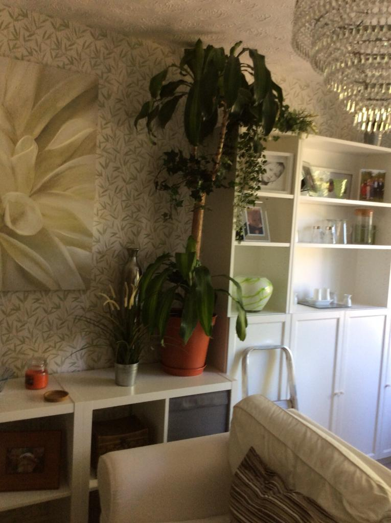 House plants | in Sale, Manchester | Gumtree on peppermint tree plant, cycad plant, reed plant, foxfire plant, gazania plant, no light indoor plant, lotus plant, google plant, hickory plant, garland plant, amazon plant, miracle fruit plant, king plant, arcadia plant, violet flower plant, eagle plant, yucca plant, ebay plant, mulberry plant, fig plant,