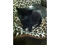 Russian Black gorgeous kitten for sale