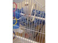 Beautiful white female budgie and cage