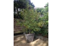 Mature Holly tree with berries in a pot