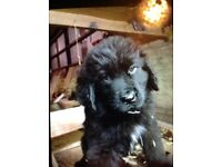 Ikc newfoundland puppy for sale