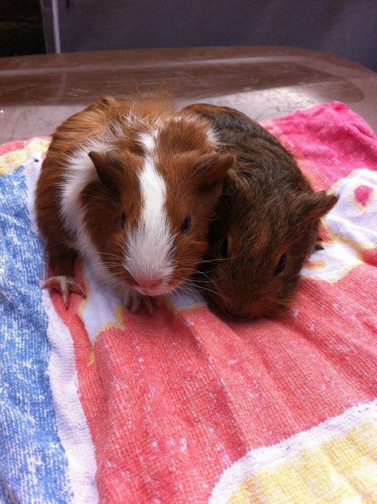 Baby females guinea pigs