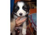 Beautiful ,adorable husky x germa shepherd pups.