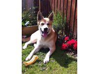 18 month Husky/Malamute for sale