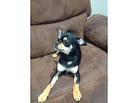Lovely 8 month old chihuahua, child friendly!