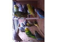 Beautiful budgies from 8 weeks to 12 months old
