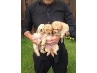 Pedigree poodle puppies