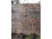 Hornbeam (carpinus) fully matured in pots 14 available