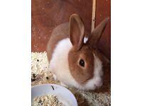 Female Dutch Rabbit Free to Good Home