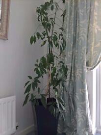 Umbrella Plant for Sale