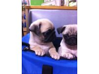 pug puppy 10wks 1 girl re advertised due to wrong number