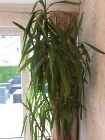 8ft Yucca Plant