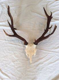 LARGE FALLOW trophy head DEER antlers
