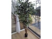 "NEW TALL REALISTIC VARIGATED FICUS TREE 5ft 6"" Tall"