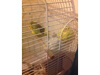 Yellow and green and yellow baddies for sale