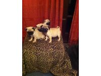 Beautiful pug puppies ready for good homes only